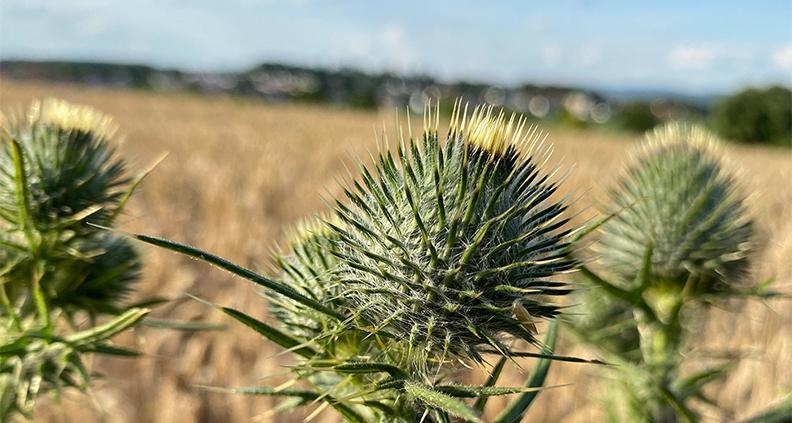 In den nächsten Monaten reifen an Feldrändern Samen von Zeigerpflanzen, wie etwa an dieser Distel.